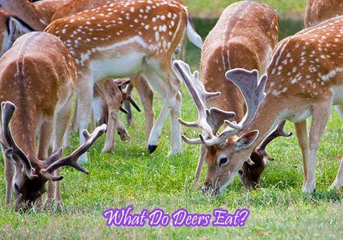 What Do Deers Eat?- Deer Nutrition