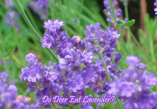 Do Deer Eat Lavender