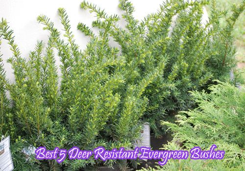 Deer Resistant Bushes Best 5 Evergreen