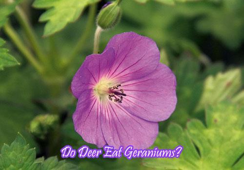 Do Deer Eat Geranium?