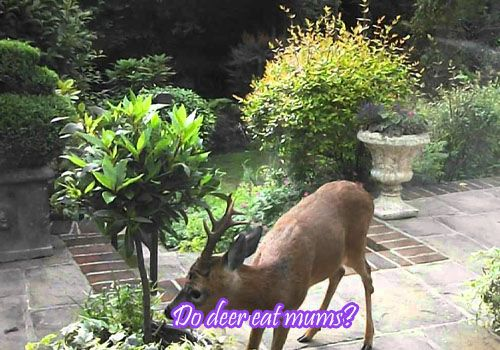 Do deer eat mums?