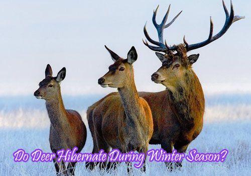 Do deer hibernate?