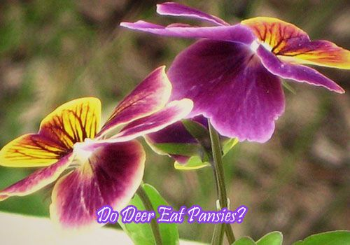 Do Deer Eat Pansies