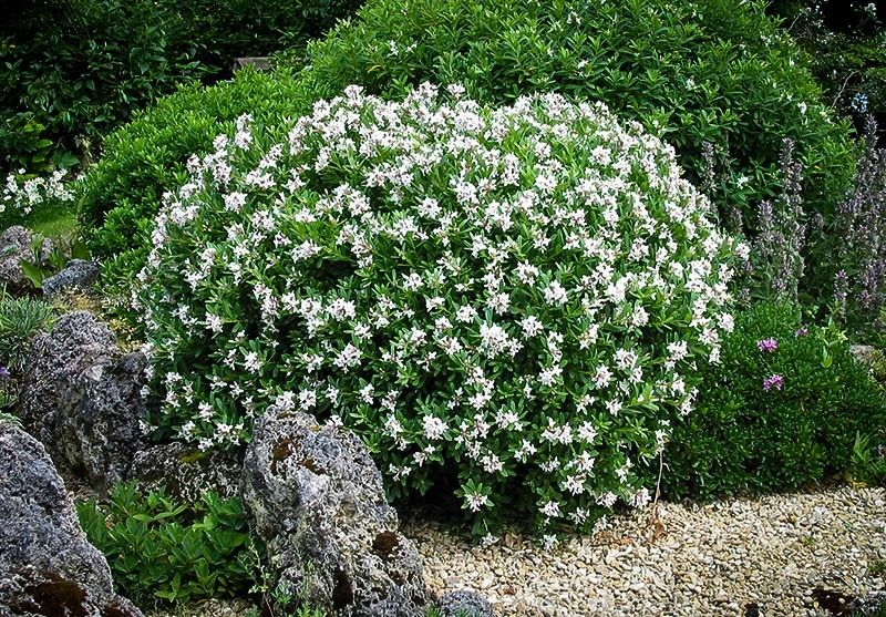 Top 7 Flowering Shrubs That Are Deer Resistant