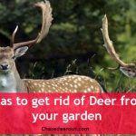 chasing-deer