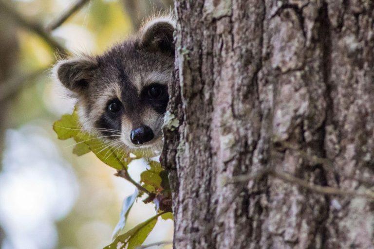 Raccoon repellent that works
